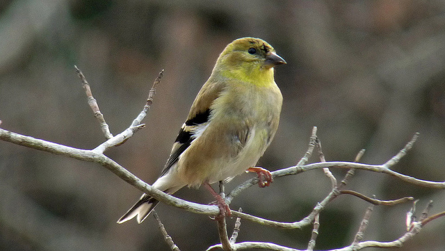 """Goldfinch"" © Chickens in the Trees, Flickr Creative Commons"